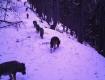 Первая жертва есть: В Закарпатье заметили стаю волков