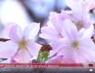 Биологи говорят - это разновидность сакуры - плакучая форма вишни