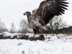Орлан-белохвост готовится съесть свою добычу - волка, с.Дроньки, Беларусь