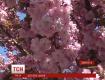 В закарпатском Ужгороде цветут экзотические японские сакуры