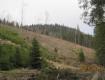 В Тячівському районі лісничі масово вирубують дерева