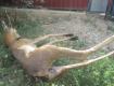 В Раховском районе задержали браконьера, убившего косулю