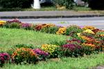 Ужгород продовжує розквітати різнокольоровими хризантемами