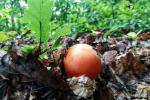 Царский гриб: В Закарпатье охотник наткнулся на очень необычную находку