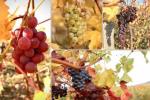 На Закарпатті збирають осінній врожай виноград