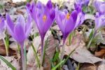 Вот и весна: В Закарпатье уже расцвели первые крокусы