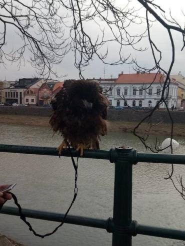 Ужгород. Активісти-екологи намагаються врятувати степового орла