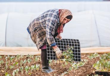 На Закарпатті в парниках вирощують ранню городину