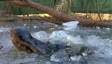 В парке США аллигаторы вмерзли в лед