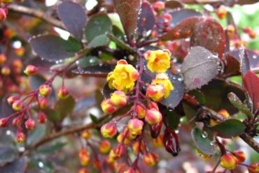В Ужгороді розквітнув барбарис, плоди якого рятують від цинги та жовтяниці