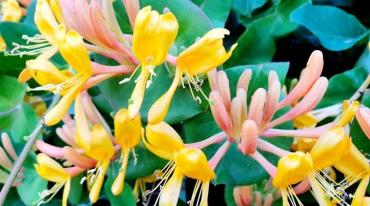 На Закарпатті цвіте рослина, яка може і отруїти, і зцілити