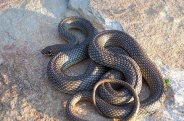 В Закарпатье змеи начали слишком часто встречаться жителям