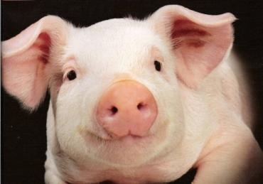 Закарпаття: через африканську чуму у регіоні посилили контроль за транспортуванням свиней та м'яса