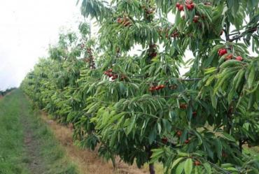 Фермер із Закарпаття вирощує яблука, груші, сливи, абрикоси та черешні