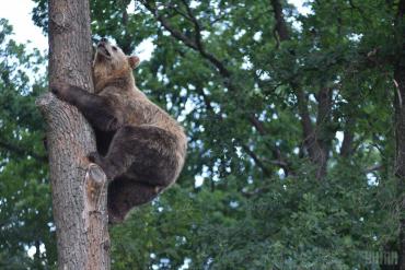 """Три дні поспіль село в Карпатах ставало місцем """"розваг"""" ддя ведмедя"""
