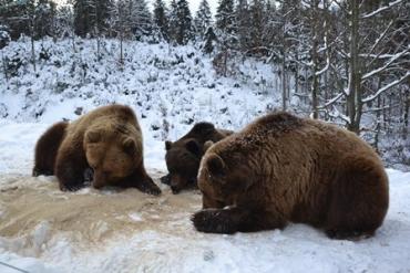 В Закарпатье более десяти бурых медведей проспали всю зиму