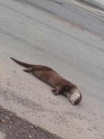 В Закарпатье на обочине дороги нашли труп речной выдры
