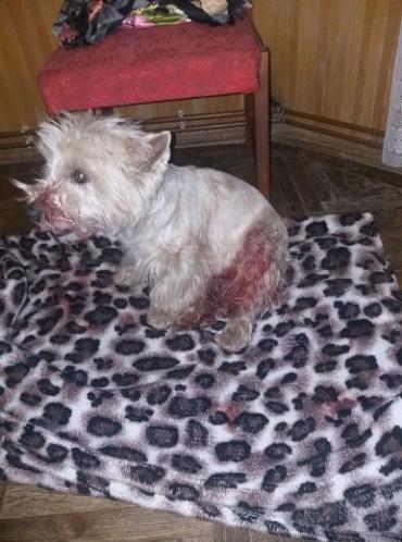 В центре Ужгорода на женщину с собакой совершили кровавое нападение