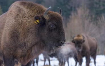 В Карпатах зафиксировали увеличение краснокнижных животных