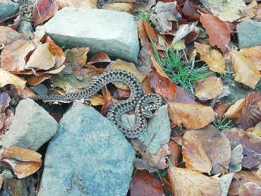 В Закарпатье местный житель наткнулся на ядовитую гадюку