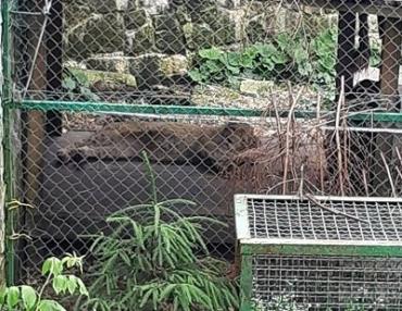 В центре реабилитации медведей на Закарпатье появился царь зверей