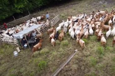 Овцеводы и сыровары горного Закарпатья объединились, чтобы спасти древнее ремесло