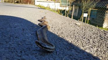 В Закарпатье ползают змеи несмотря на сильные морозы