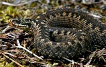 Змеи в Карпатах!: Правила поведения и спасения при встрече с ними