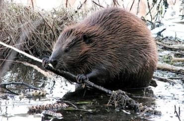 В обласному центрі Закарпаття в річці Уж живе дивовижна тварина