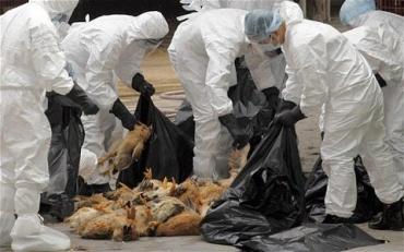 В соседней с Закарпатьем Венгрии выявлен птичий грипп: Уничтожат 50 тысяч индеек