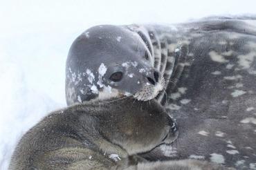 Украинцев просят придумать имя тюлененку