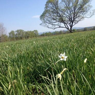 Массовое цветение в Долине нарциссов не за горами