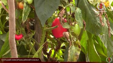 Сільські жителі Закарпаття на роздоріжжі: їхати на заробітки чи рятувати пізній врожай