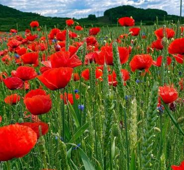 Классная фотозона: Поля цветущих, диких маков в Закарпатье завораживают своей красотой