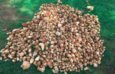 В Закарпатье группа друзей за раз собрала больше сотни килограмм белых грибов