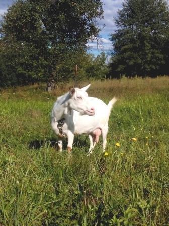 """""""Молочні ріки"""" Закарпаття: Кози і гастрономічний туризм"""