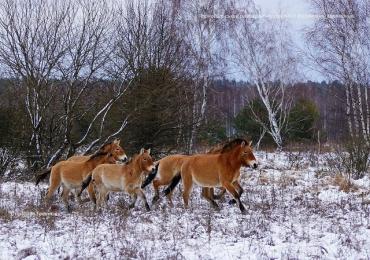 Лошади Пржевальского вернулись в Чернобыль: Опубликовали фото редких животных