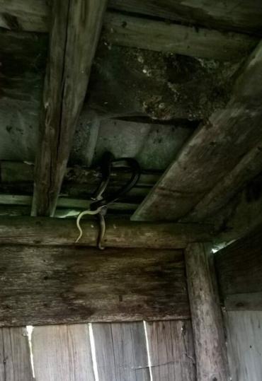 В Закарпатті дві чималі змії пробралися в будинок місцевого мешканця
