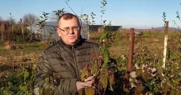 В Закарпатье на рынках до сих пор торгуют свежей малиной! (ВИДЕО)
