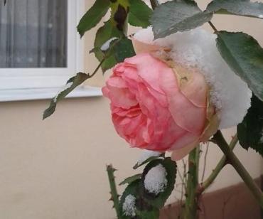 Трояндова чудасія на католицьке Різдво на Закарпатті