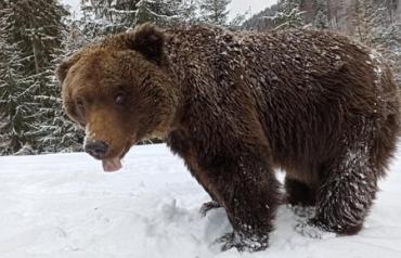 У зимову сплячку впали не всі ведмеді у Карпатах