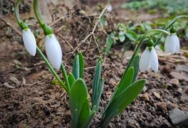 """""""Аномальна"""" зима на Закарпатті змусила розквітнути перші першоцвіти"""