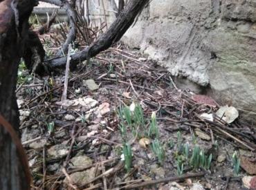 Подих весни на Закарпатті: підсніжники готові до цвітіння