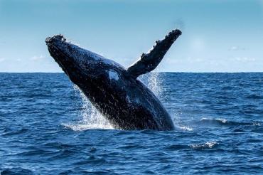 Ловца лобстеров из США проглотил горбатый кит, но счастливчик выбрался невредимым
