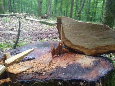 Леса нещадно уничтожают: Пост о массовой вырубке дубов недалеко от Ужгорода разместили в соцсети