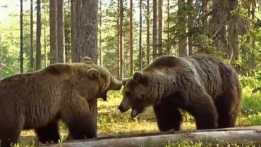 Голодные медведи терроризируют Прикарпатье.