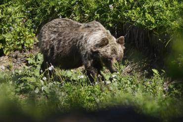 В Словакии встреча с медведем закончилась для мужчины ужасной смертью