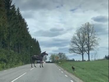 Большой шаг для маленького лося: Умилительная съемка на дороге Словакии