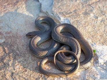 Гигантская змея ростом как два высоких мужика ползала по центру Ивано-Франковска