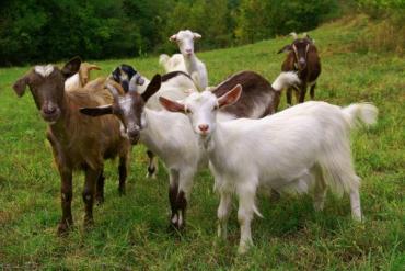 Как сквозь землю провалились: В Закарпатье бесследно исчезли 30 коз